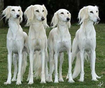 Saluki Dogs
